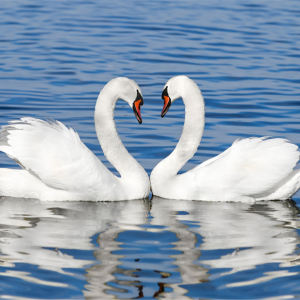 two swans face-to-face on water